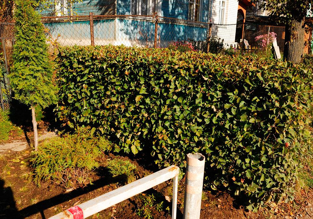 из каких кустов можно сделать живую изгородь в московской области